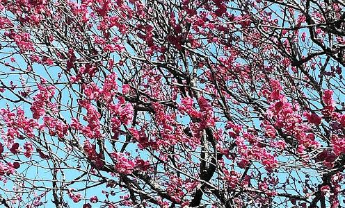 太宰府天満宮の梅が見頃!写真で開花状況と飛梅の場所を撮ったよ